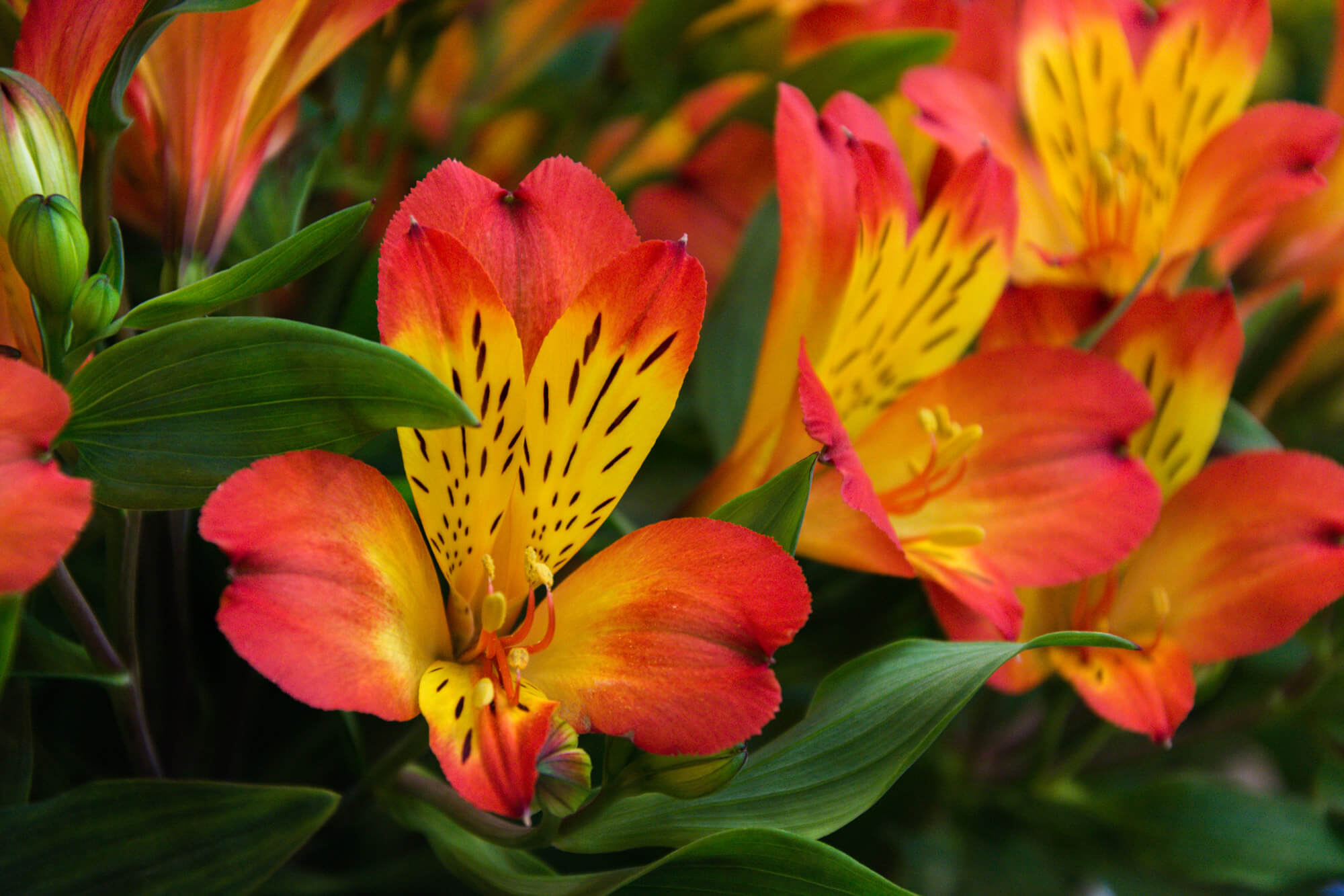 pays-bas tulipe symbole printemps fleurs jardins