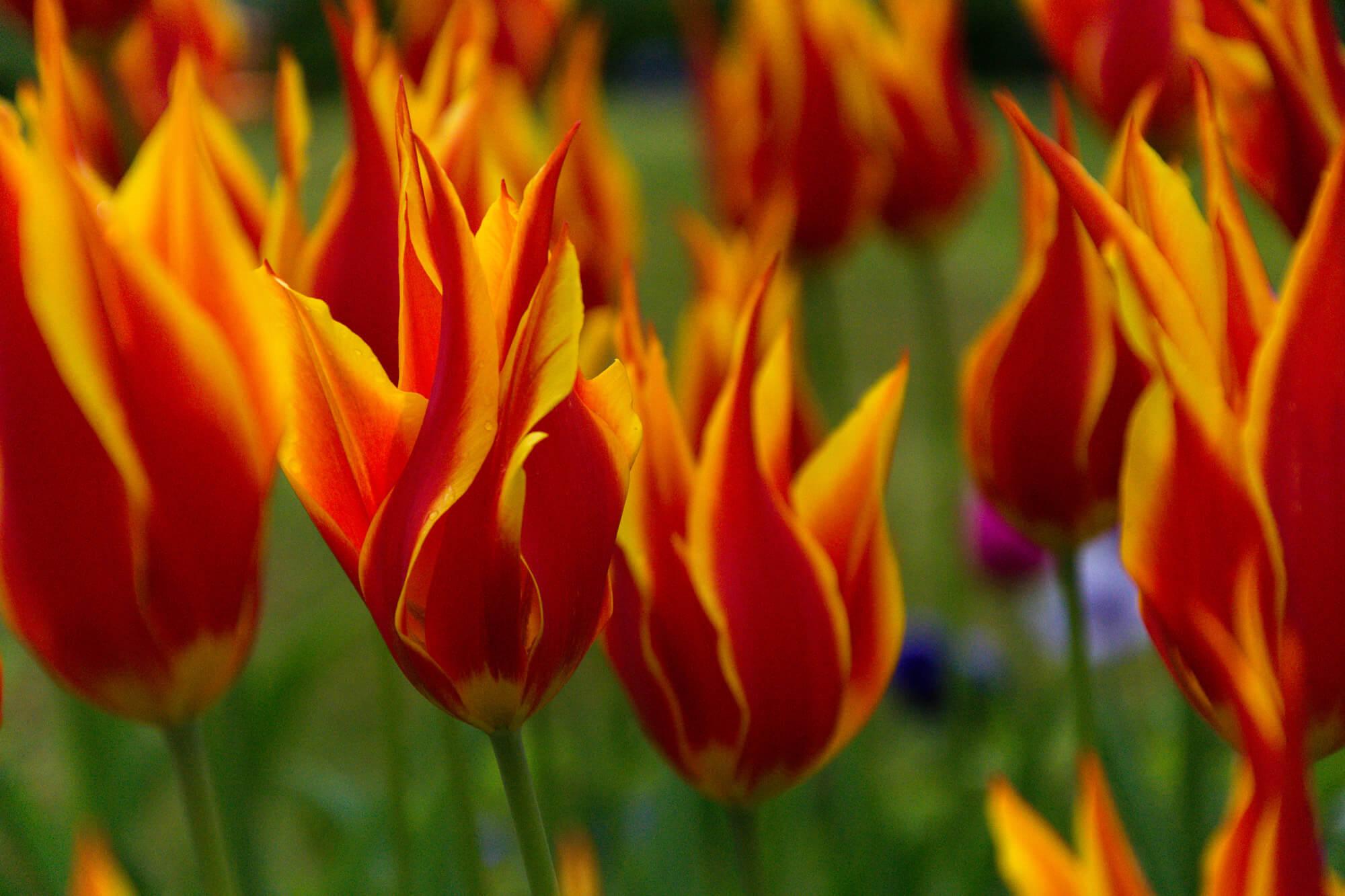 tulipe keukenhof parc floral lisse hollande visite