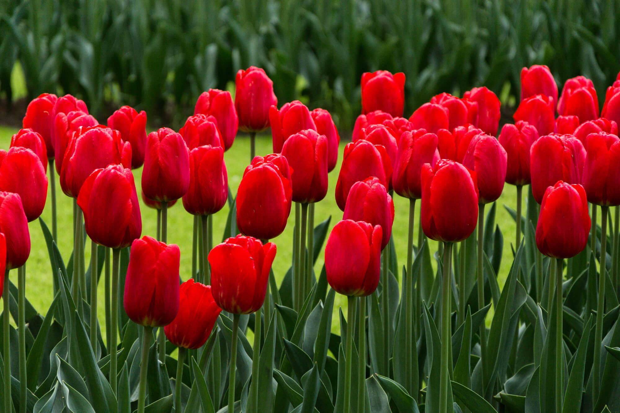 tulipes rouges moulins sabots gouda asperges hollande